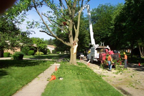 Trimming a Tree with Mentor Tree Service