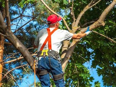 Tree Trimming with Mentor Tree Service